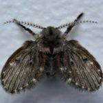 diệt ruồi cánh bướm trong nhà vệ sinh