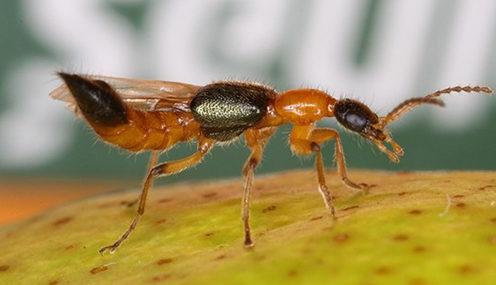 kiến ba khoang có cánh