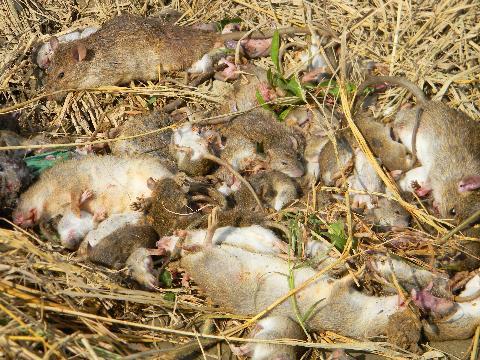 diệt chuột tại hà nội