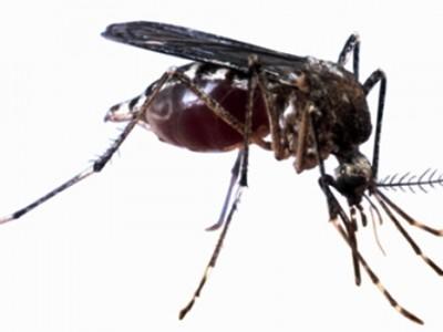 Muỗi là tác nhân truyền bệnh sốt xuất huyết và virut Zika