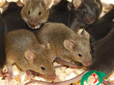 Cách diệt chuột tại nhà tận gốc hiệu quả