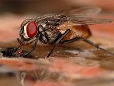 Những tác hại của ruồi nhà và biện pháp xử lý ruồi