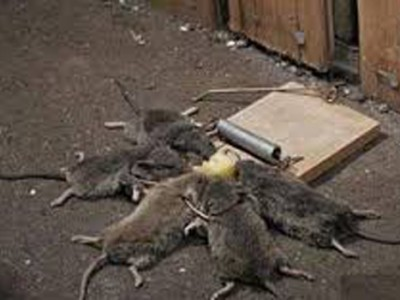 Giải pháp kỹ thuật diệt chuột nhanh, hiệu quả